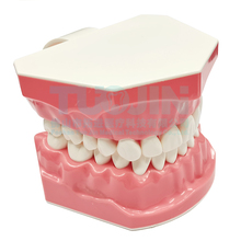 Teeth Model Dentist Student Practice Model Dental Adult Standard Oral Tooth Model For Kids Dental Teaching Study Typodont  Tools