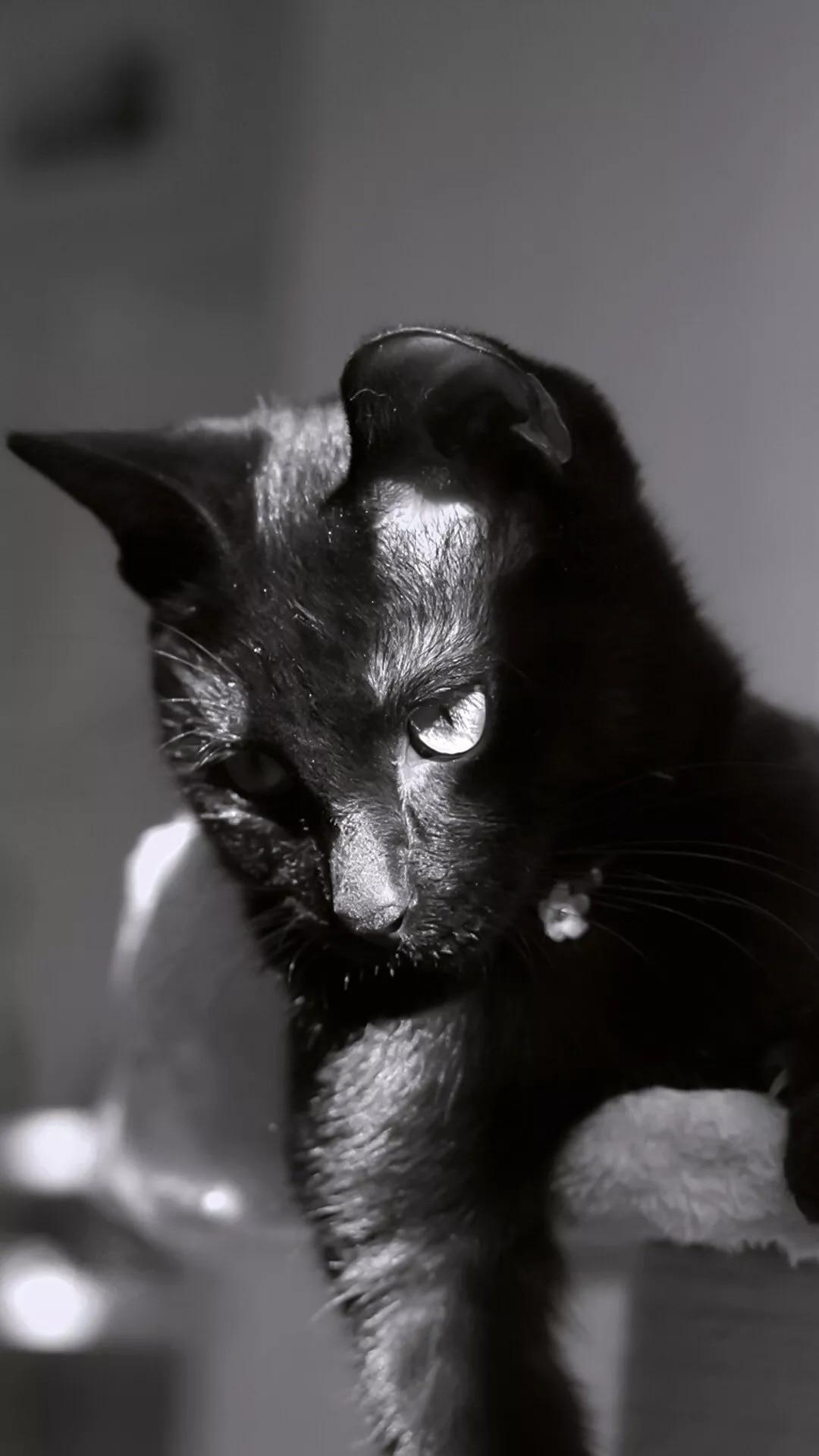 猫片壁纸:猫咪(黑猫图片)插图11
