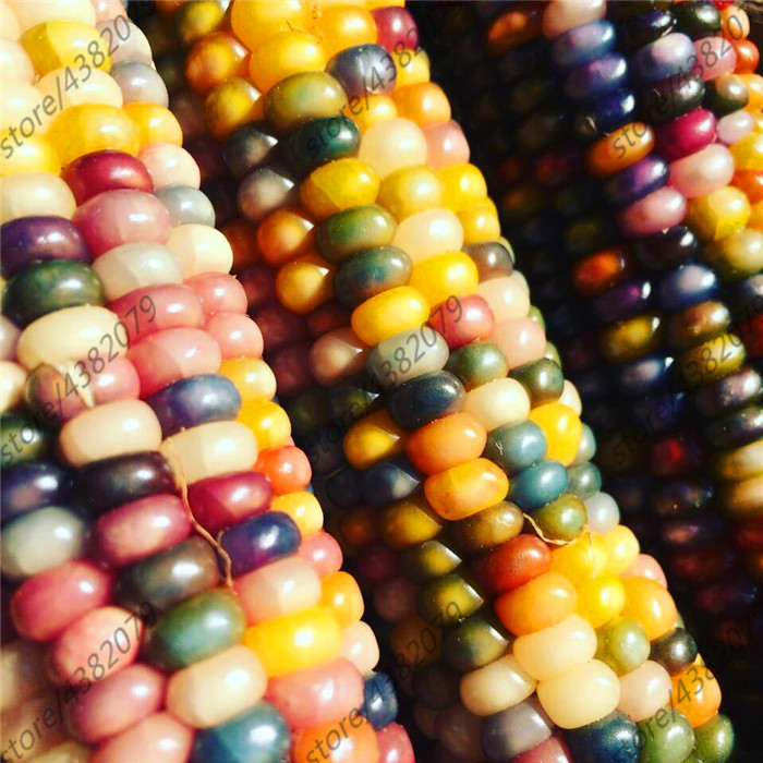 Colorful Corn 20