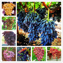 50Pcs Super Sweet Gold Finger Grape Seeds Home Nature Garden Bonsai Plants Colorful Grapes Fruits Flower Fragrant Incense AG-02