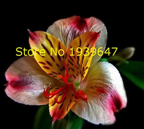 100PCS hot-selling Flor Alstroemeria Raro Lírio Peruano Mix-cor Linda Flor para Casa & Jardim Livre grátis