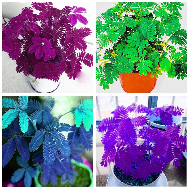 Mimosa Pudica Linn Bashful Grass Bonsai Foliage Mimosa Pudica Sensitive Bonsai Plant Home Garden 100 Pcs Flower Pot Plantas