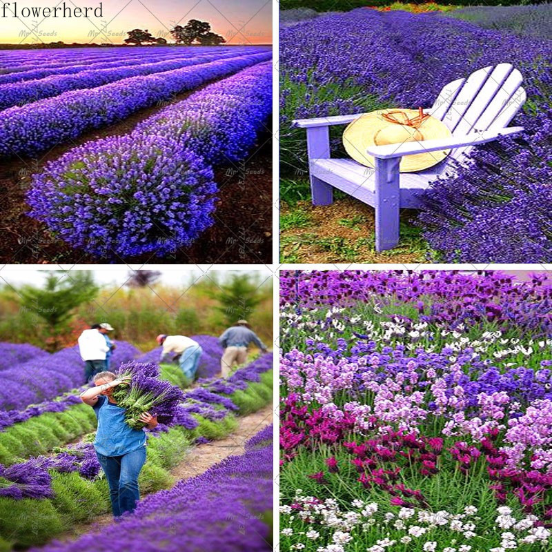 200pcs Lavender Seeds French Provence Lavender Seeds Balcony Garden Potted Flower Seeds Easy Seeding Four Seasons Garden Tools