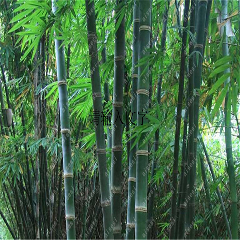 Plant Flower Bath Salts Fresh Giant Bamboo Essence 100Pcs XZZ-54