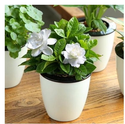 Graines A Planter Four Seasons Flowering Indoor Easy-lived Desktop Potted Flowers Plant Seeds