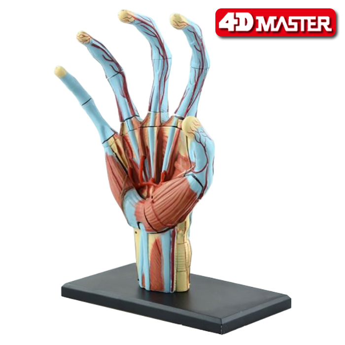 Genuine 4d Master Puzzle Toy 4d Master Body Assembly Model Hand Structure Model Can Be Used In Medical School Teaching image