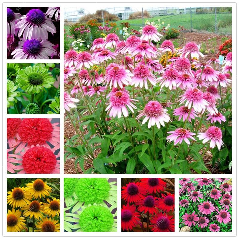 100 Pcs Rare Japan Echinacea Purpurea Bonsai Beautiful Daisy Flower Plants Home Garden Easy To Grow Indoor Bonsai Flower Flores