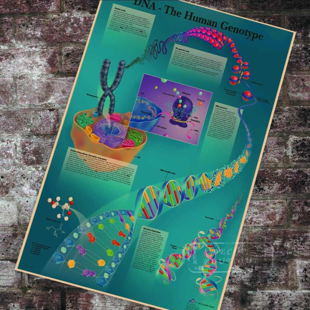 กายวิภาคศาสตร์พยาธิวิทยากายวิภาคDNAมนุษย์Genotypeแผนภูมิคลาสสิกผ้าใบภาพวาดVintage Wallโปสเตอร์สติ๊กเกอร์ตกแต่งบ้านของขวัญ