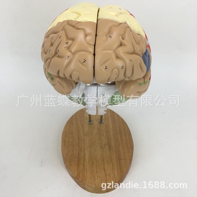 Image 4 - 2 倍の倍率 4 部分人間の脳デジタルインジケータロゴ脳の神経解剖モデル医療用品    -