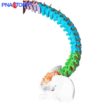 85cm adult colored flexible spine model skeleton anatomy medical teaching tool pelvis bone life size nerves and artery model 85cm skeleton model with nerves system medical teaching educational equipment skeleton anatomy human spine and skull anatomical