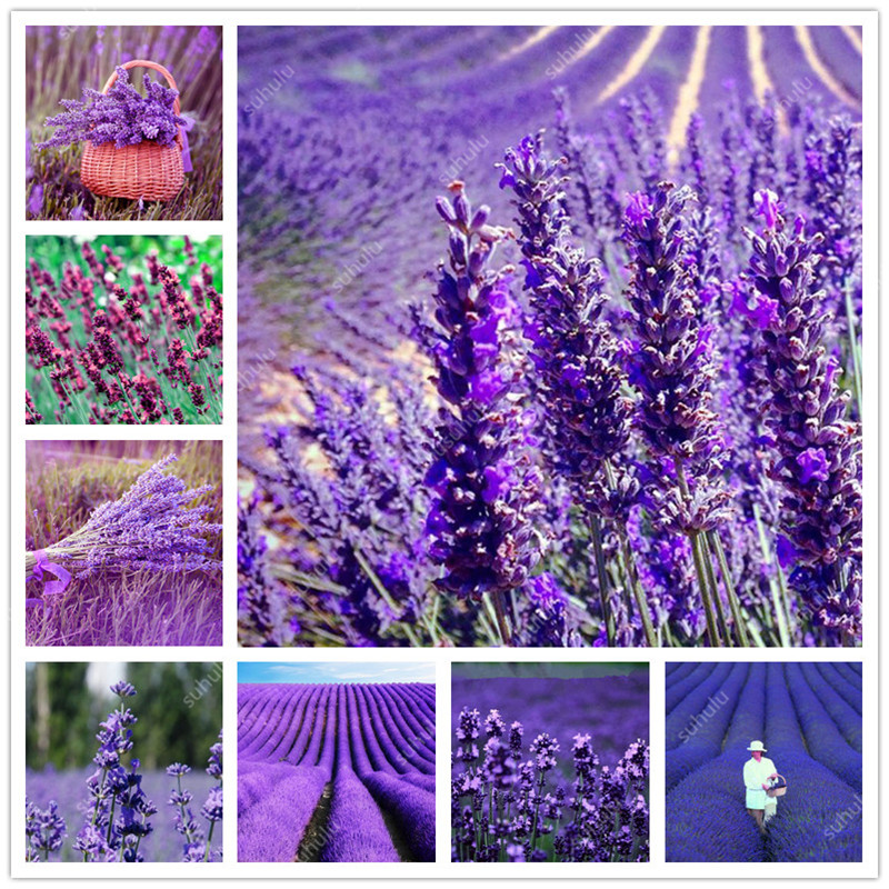 500 Pcs Italian Lavender Flower Heirloom Charming Fragrant Flower Potted Plant Fast Growing Outdoor Ornamental Plants For Garden