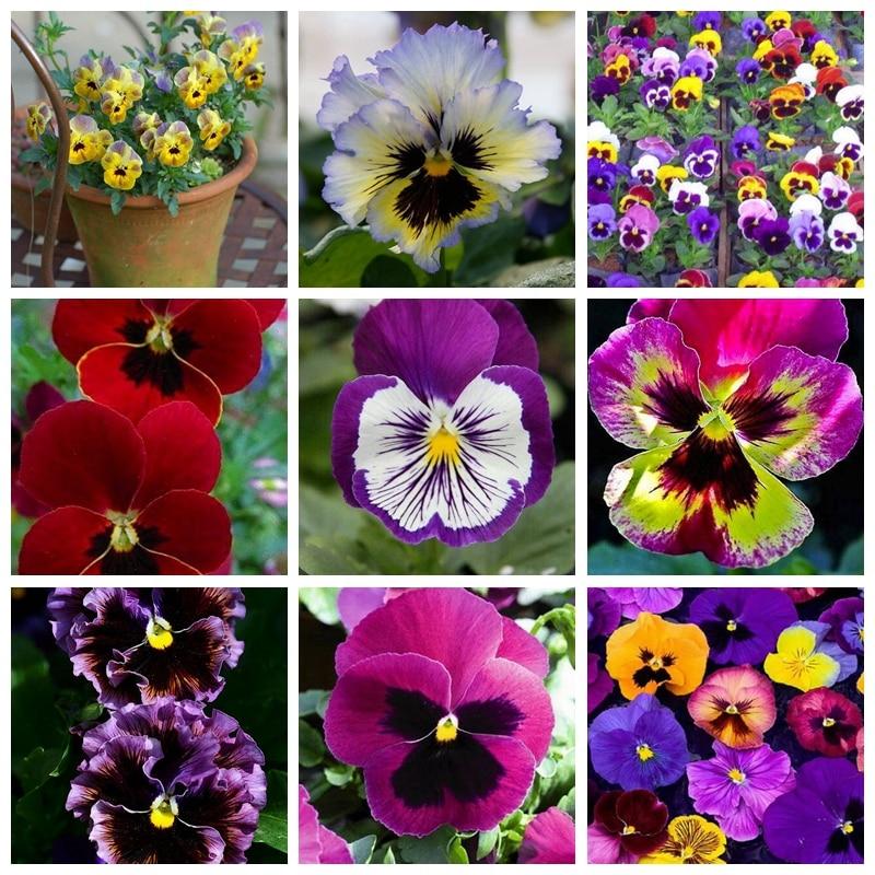 100 Pcs/ Bag Bonsai Pansy Flower Mix Color Blooming Wavy Viola Tricolor Flore Outdoor Potted Plants DIY Home & Garden Decor