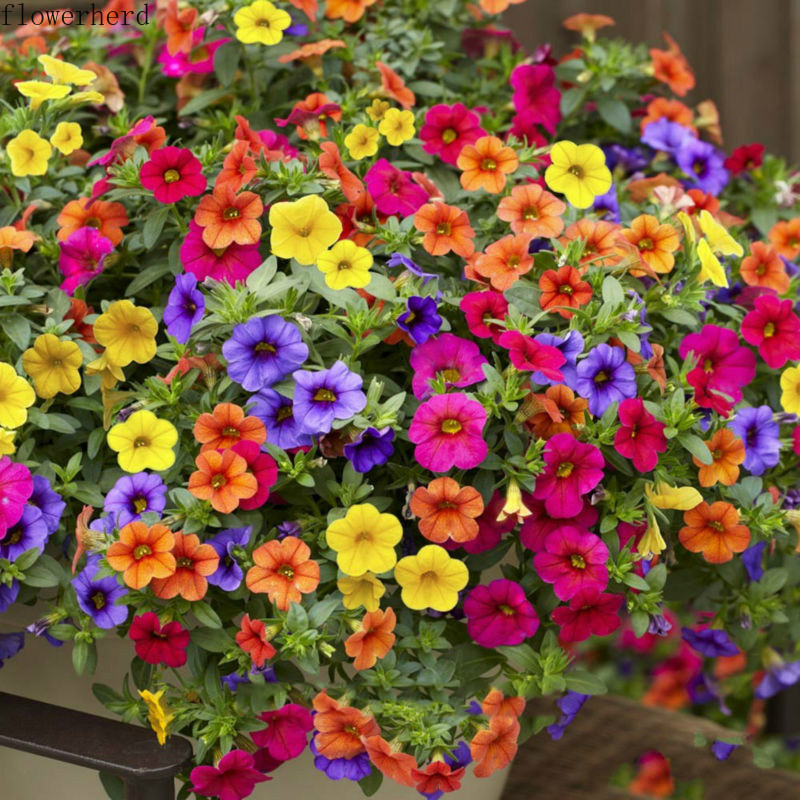 100pcs Hanging Petunia Seeds Petunia Seeds Potted Easy-to-Drop Hanging Flower Seeds Four Seasons Sowing Flower Seeds Garden Tool