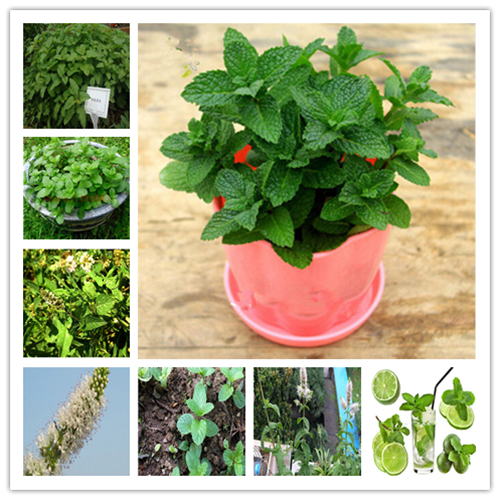 100 Pcs Rare Vegetable Mint SeedsPlant Bonsai Peppermint Spearmint Field Mint Catnip Semillas De Flores Home Garden Adornment