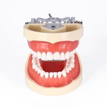 Стоматологическая обучающая модель стандартная 32 шт. съемные зубы стоматологический стоматолог Typodont модель съемные зубы мягкая модель десен для стоматологов