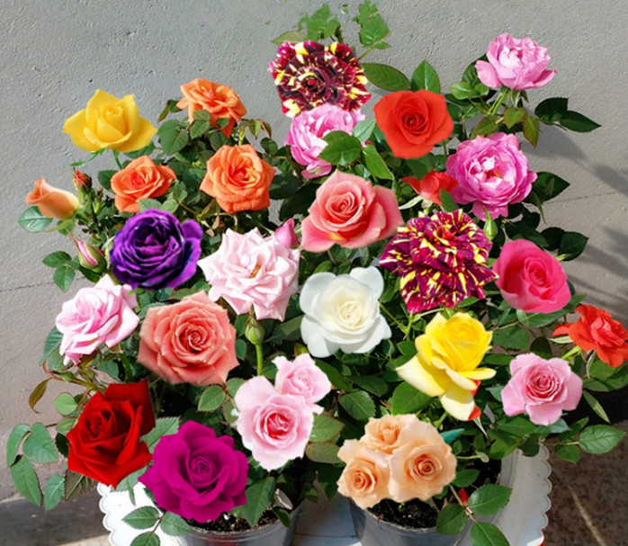 Rose Seed Seasons Easy To Plant Live Fresh Flower Seedlings Balcony Indoor Potted Flower Seeds Wholesale Red Rose Seeds A-M
