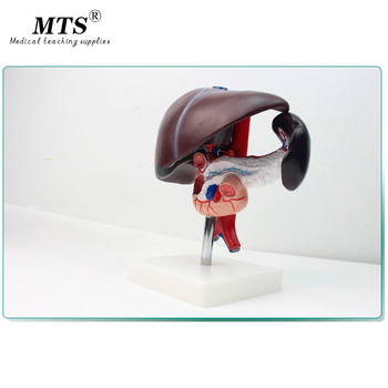 Hepatopancreatic Duodenum Model Hepatobiliary Digestive System Anorectal Doctor-patient Communication Model Anatomical Model detailed anatomical urinary system model
