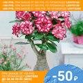 Адениум обесум MIX - СЕМЕНА (10 шт.) Роза пустыни, Суккуленты Цветы
