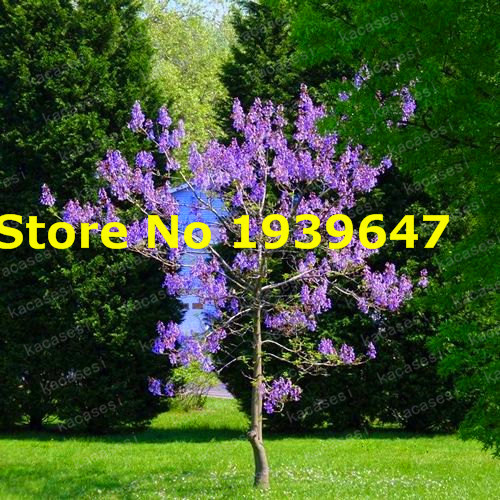200pcs / Bag Paulownia, Empress Royal Tree (Paulownia Tomentosa), Ourdoor Plants Potted Plants Home Garden