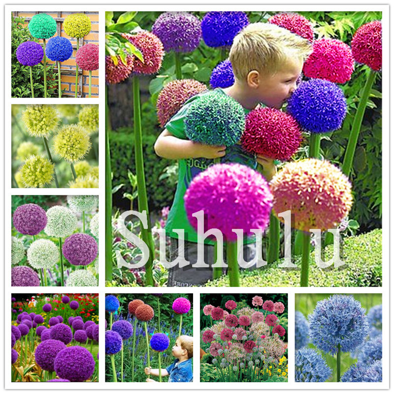 200 Pcs Giant Allium Giganteum Onion Bonsai Beautiful Purple Flower Plants Home Garden Flowers, Perennial Non-GMO Plant Pot