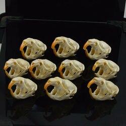 1 pcs, 5 pcs, 10pcs Ondatra zibethicus Topo Muschiato del cranio reale di osso scheletro biologia tassidermia