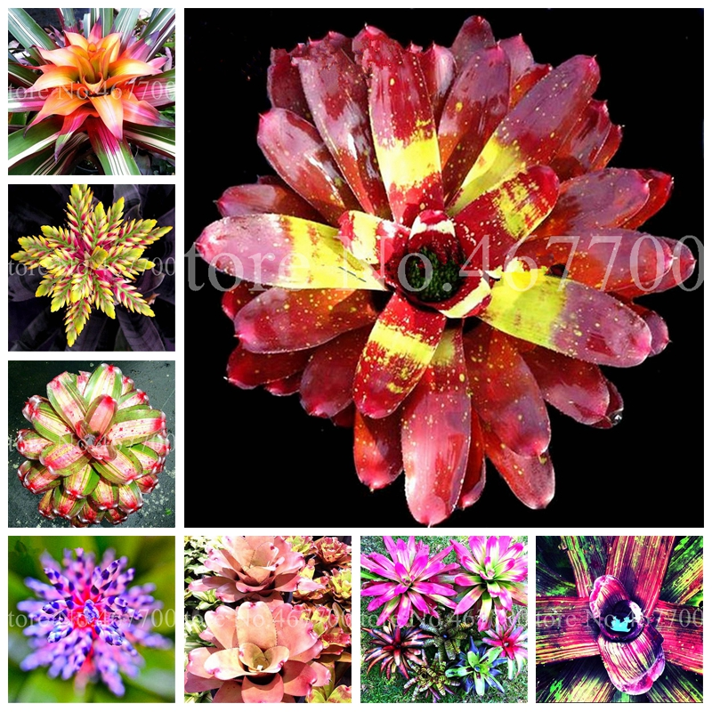 100 Pcs Bonsai Colorful Bromeliad Bonsai Plants Vegetable Fruit Garden Succulent Mini Cactus Pots Rainbow Children Potted Flower