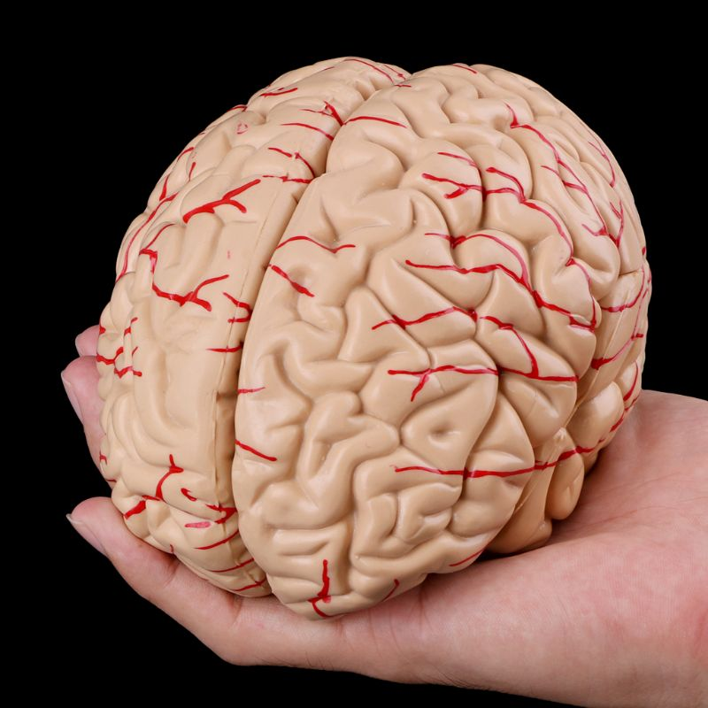 1:1 Life Size Human Brain Model With Arteries Anatomical Medical Organ Anatomy Model School Educational Medical Science Teaching image