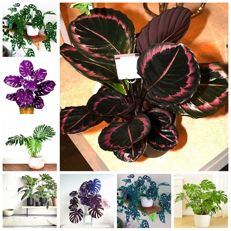 New 100 Pcs/ Bag Colorful Palm Turtle Leaves Bonsai Indoor Monstera Potted Plant Tree Mixed Home Garden Perennial Foliage Plants