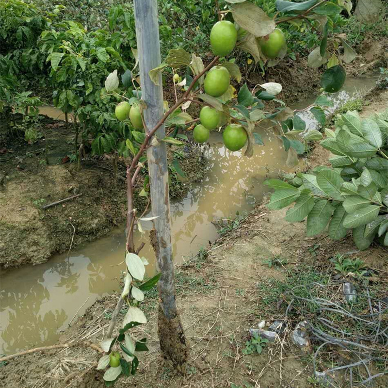 Nursery Direct Selling apple zao Grafted Seedlings Taiwan Big Jujube Fruit Tree Seedlings South Jujube Fruit Tree Seedlings