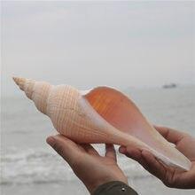 Aqumotic conchas naturais austrália longo caracóis dafa parafuso secreto patriarcal taoist chifre hemifusus colosseus decoração