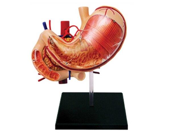 4d İnsan mide anatomi modeli İskelet tıbbi öğretim yardım bulmaca montaj oyuncak laboratuvar eğitim ekipmanları