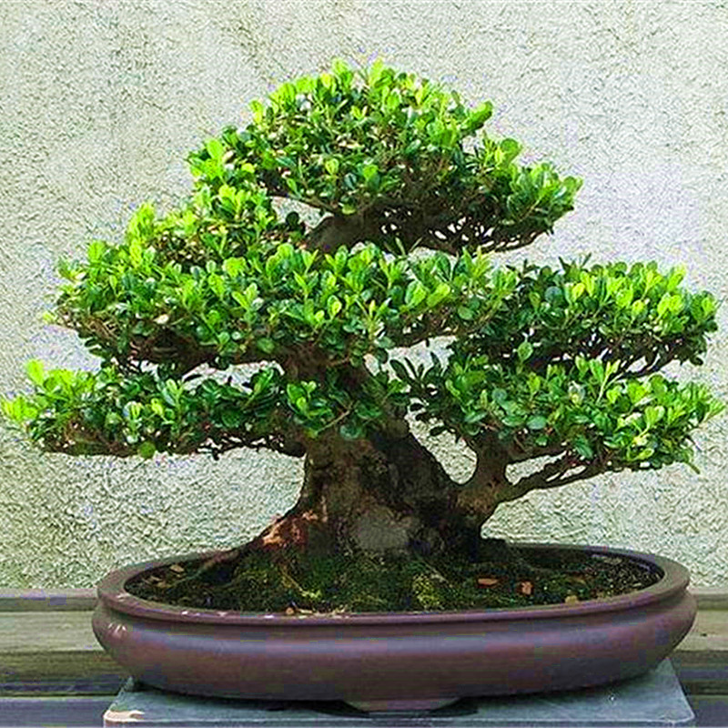 10Pcs Boxwood Tree Bonsai Plant  Decoration, Houseplant, Home Garden Decoration Bonsai Tree Boxwood Plants Pot