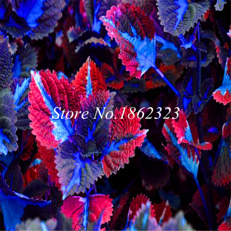 Free Shipping 200pcs Rare Coleus Blumei Plant,Rare Flower Bonsai Potted Begonia Plants For Garden Balcony Coleus Plant For Sale