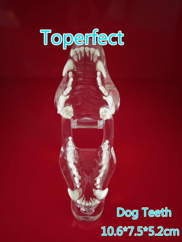 Transparent Resin Dog Anatomical Teeth Teaching Demonstration Veterinary Animal Skeleton Crystal Specimen Dentition Model