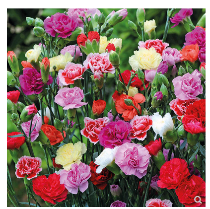 Carnation Big Flower Seed Balcony Indoor Outdoor Potted Flowers Four Seasons Graines A Planter