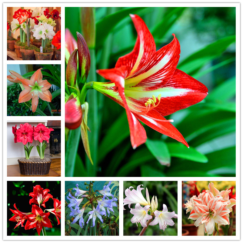 100pcs Amaryllis Bulbs True Hippeastrum Bulbs Flowers,Barbados Lily Potted Home Garden Balcony  Bulbous
