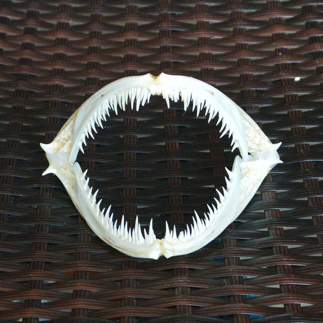 Anglerfish Fish mouth bone skull Animal skull specimen (Real skull)