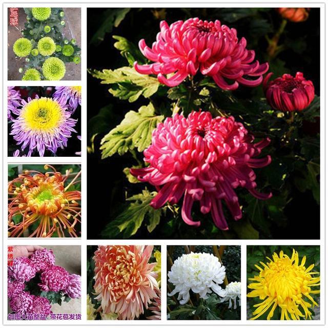 Plant Flower Bath Salts Colorful Peony Chrysanthemum Essence 100Pcs XZZ-138