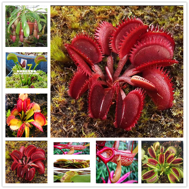 Plant Flower Bath Salts Lucky Nepenthes Essence 100Pcs XZZ-142