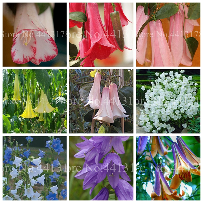 100 Pcs / Bag Rare Campanula Bonsai Imported Chile Rosea Plant Outdoor & Indoor Chilean Bellflower Garden For Flower Pot Planter