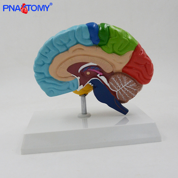 Natural size human anatomical brain model colored brain functional are medical tool with base cerebrum cerebellum model PNATOMY transparent human heart anatomical model life size detachable with base plastic made medical teaching tool pnatomy