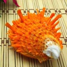 4-7cm concha natural presente aquário decoração ornamento coleção laranja cabra mar crisântemo