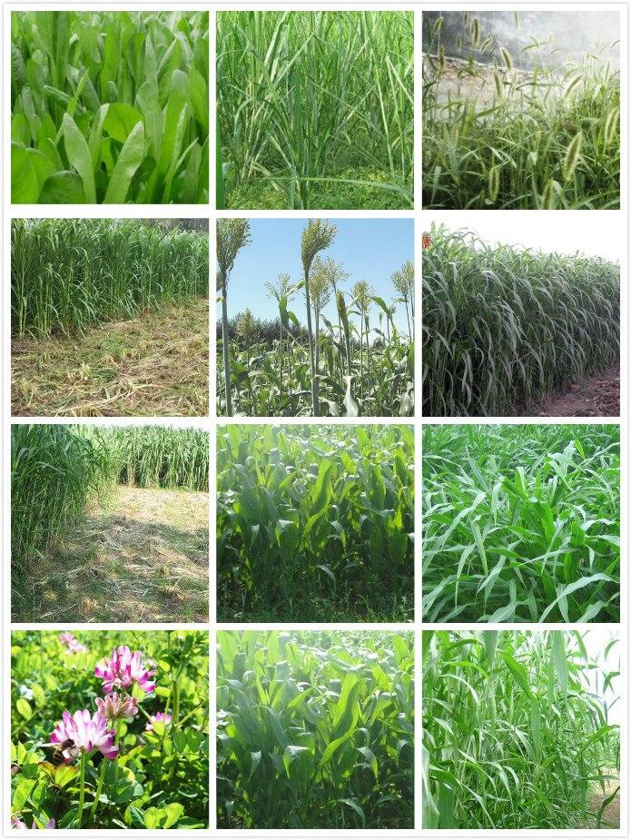 Perennial Forage Ryegrass Seeds Alfalfa Seed Grass Seed 400g