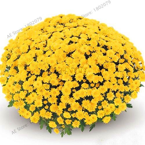 Promotion!100pcs/bag Rainbow Daisy , Rainbow Chrysanthemum, Bonsai Flower Plant, Natural Beautiful Potted Planta For Home Garden