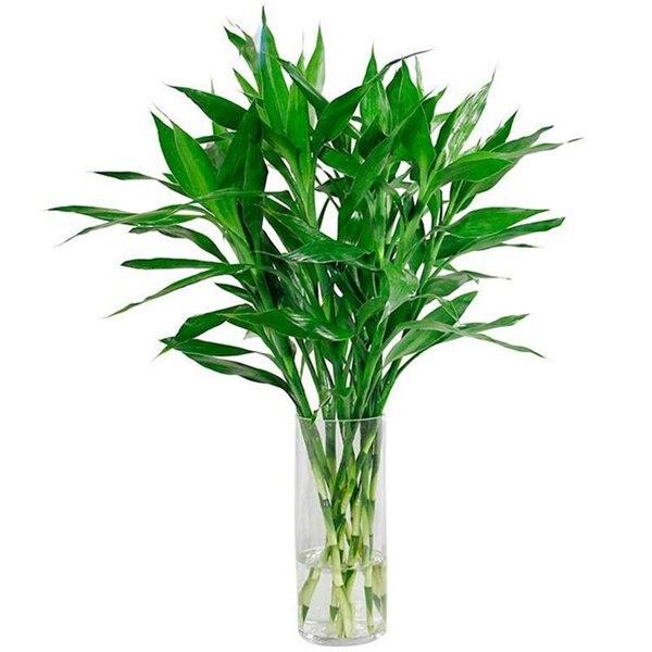 20pcs Lucky Bamboo