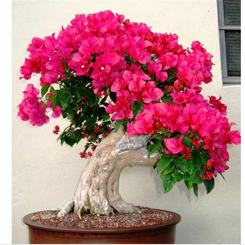 100pcs Color Bougainvillea Balcony potted,yard bonsai flower plant immensely showy, floriferous hardy plant Free shipping