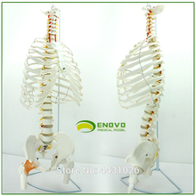 The-Rib-Cage Spine-Of-The-Lumbar Enovo-A-Model Human-Body