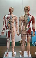 85cm super clear meridian acupuncture model male acupuncture model human skeleton viscera brain acupuncture point model PVC