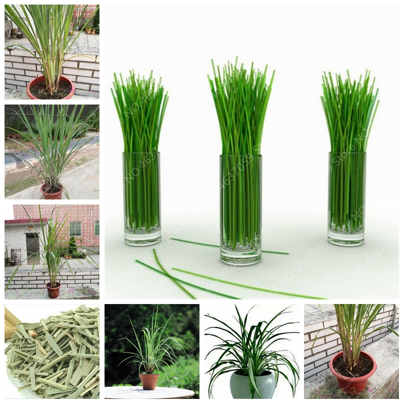 300 Pcs Bonsai Lemon Grass Herb Edible Indoor Lemongrass Kitchen Vegetable Medicinal Graines Legumes Potager For Garden Flower