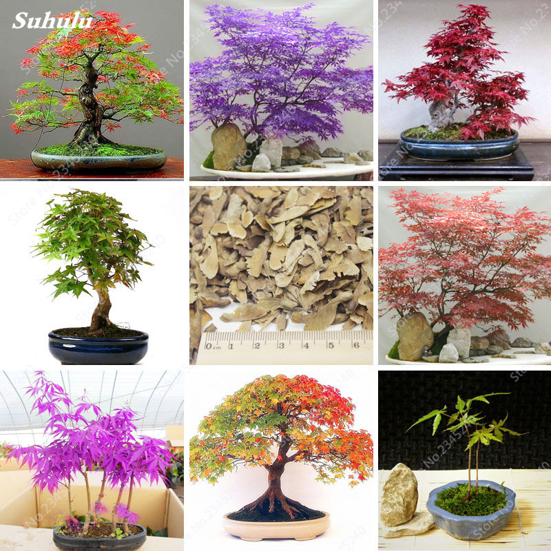 100% Genuine Rare Novel Maple Tree Bonsai Plant Promotion! 50pcs/lot Maple Bonsais Plants For Balcony Home Garden
